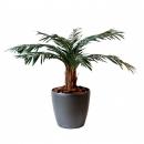 12 - cycas-palm 80 a 210 cm - 1242 - 71