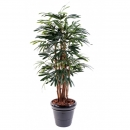 27 - palmier-rhapis-lady 150 cm - 1134 - 71