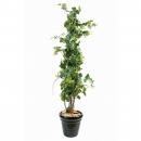 48 - vigne-tree 140 cm - 10214 - 71