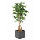 65 - ginkgobiloba-root-180 cm - 11255 - 71