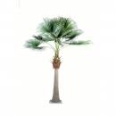 7 - palmier-camerus-royal 690 cm - 16268 - 71