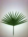 feuille-palmier