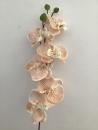 phalaenopsis-beige-b1-fleur-tige